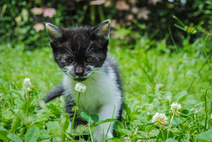 Cats_Sniffing_Flowers_20 (700x469, 368Kb)
