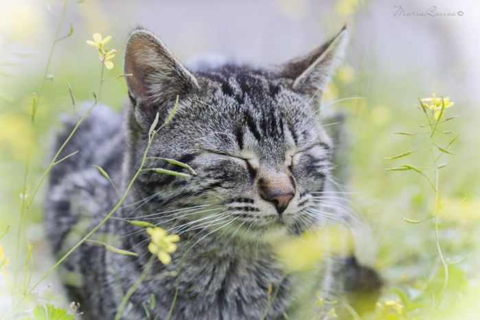 Cats_Sniffing_Flowers_15 (700x466, 277Kb)
