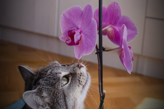 Cats_Sniffing_Flowers_07 (700x466, 240Kb)