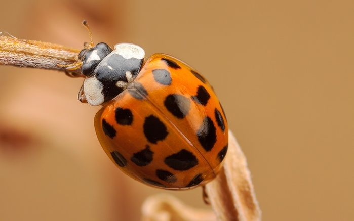 Ladybugs_Closeup_Orange_507189_1920x1200 (700x437, 59Kb)