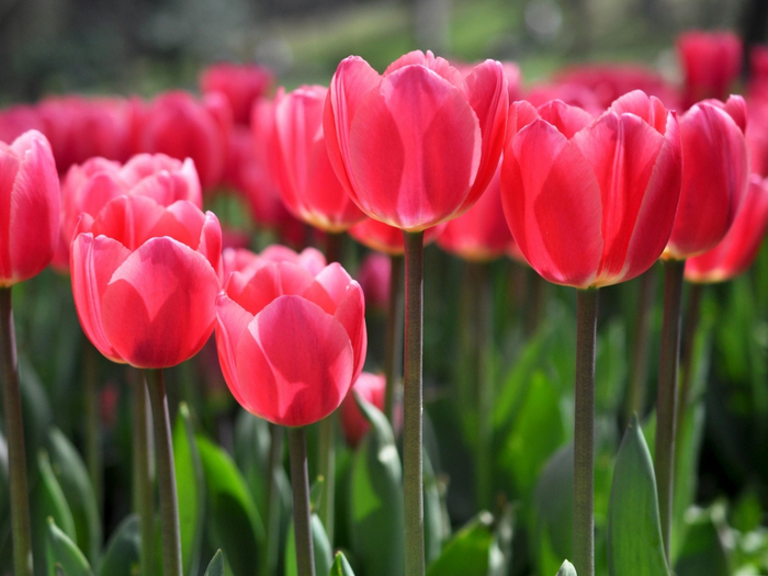 тюльпаны 2 (700x525, 349Kb)