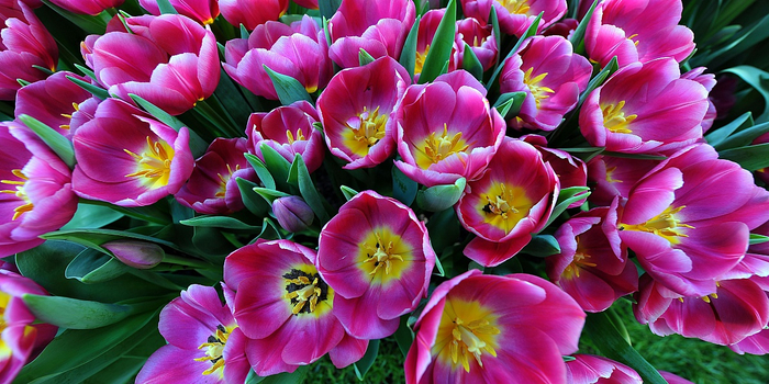 тюльпаны 8 (700x350, 403Kb)