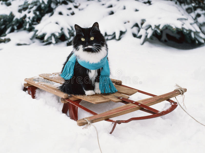 tuxedo-cat-wearing-scarf-vintage-wooden-sled-black-white-his-blue-sits-old-red-wood-49266812 (700x523, 267Kb)