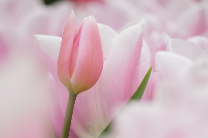 Tulips_Pink_color_358067 (700x466, 46Kb)