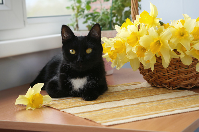 Daffodils_Cats_Black_543917_1280x853 (700x466, 145Kb)