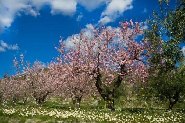 depositphotos_40294219-stock-photo-almond-orchard-in-blossom-alicante (607x405, 252Kb)