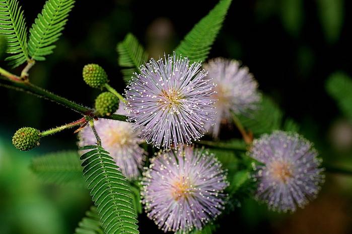 mimoza-stydlivaja-foto-1024x683 (700x466, 327Kb)