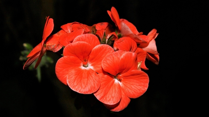 2017Nature___Flowers_Red_beautiful_flowers_on_a_black_background_114710_ (700x393, 138Kb)