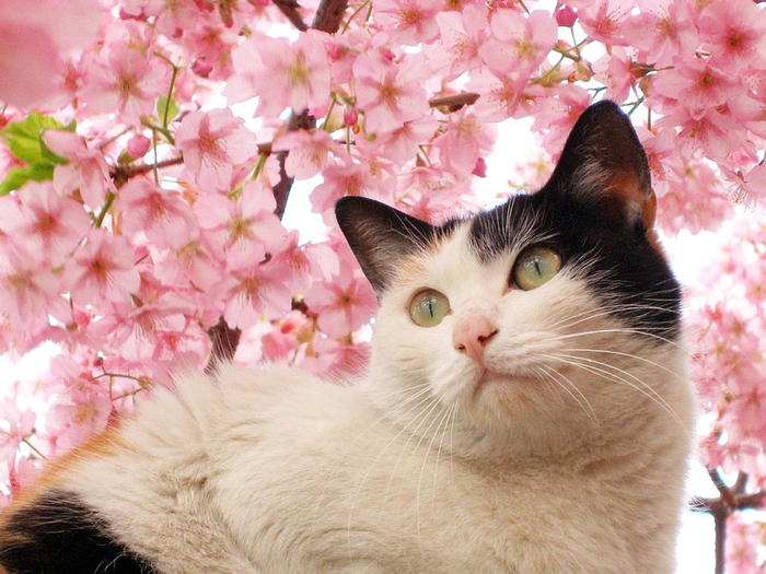 cherry_blossom_with_cat_Wallpaper_r25zb (700x525, 437Kb)