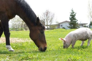 horse_pig.jpg.pagespeed.ce.pAKKj-pED8 (300x200, 33Kb)