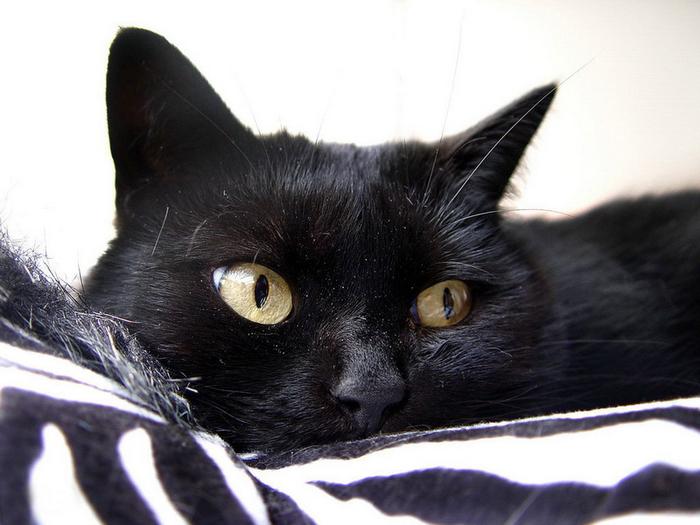 cats-purr_3 (700x525, 308Kb)