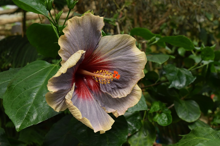 Botanical-Flora-Greenhouse-Hibiscus-Flower-Exotic-2859566 (700x466, 331Kb)