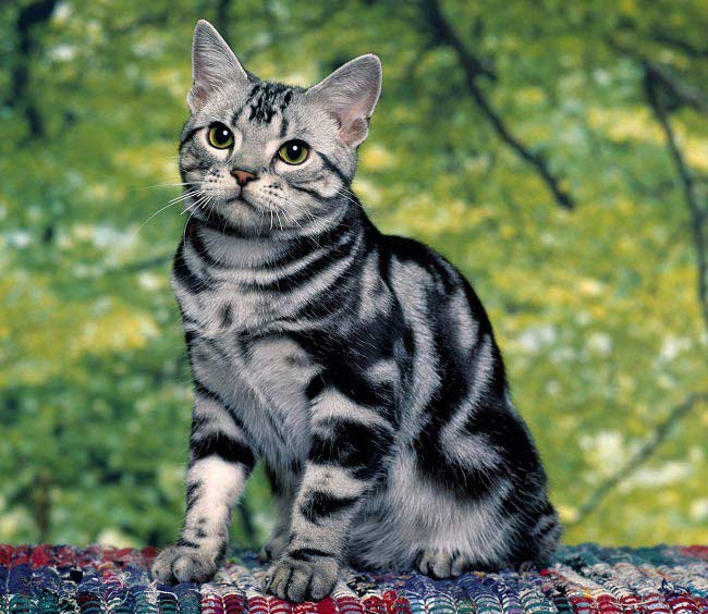 british-cat-tabby.jpg.pagespeed.ce.2A1WRi32Ex (650x564, 62Kb)