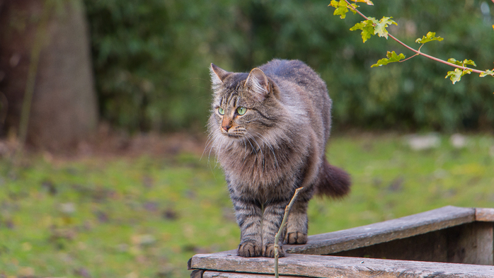 nature-animal-wildlife-cat-mammal-fauna-whiskers-vertebrate-wild-cat-small-to-medium-sized-cats-cat-like-mammal-873684 (700x393, 308Kb)