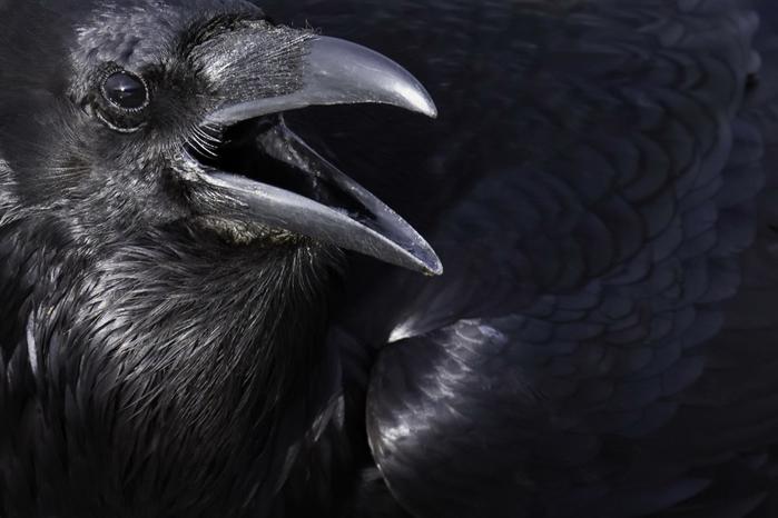 1920x1280-px-animals-crow-1261745 (700x466, 229Kb)