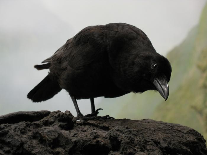 voron-ptica-vzglyad (700x525, 356Kb)
