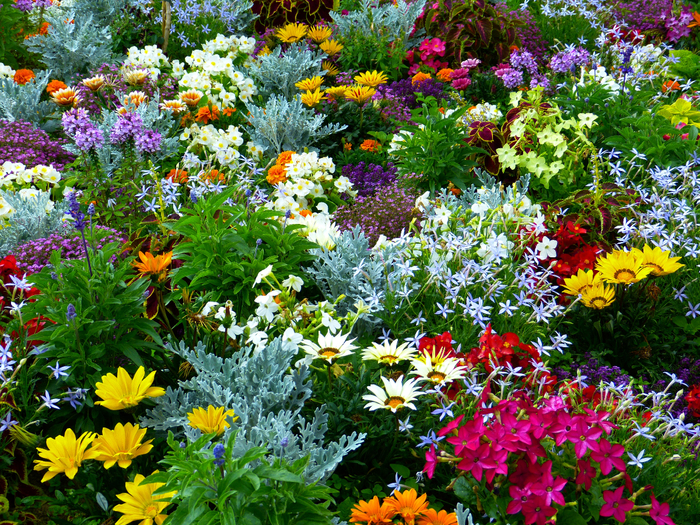 plant-meadow-flower-herb-botany-colorful-garden-flora-wildflower-flowers-shrub-flower-garden-floristry-summer-flowers-flowering-plant-daisy-family-annual-plant-land-plant-chrysanths-898806 (700x525, 784Kb)
