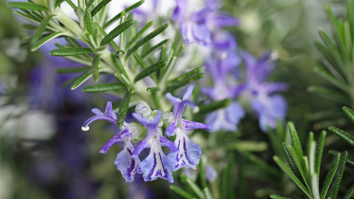Photo_of_rosemary_13_10060100 (700x393, 270Kb)