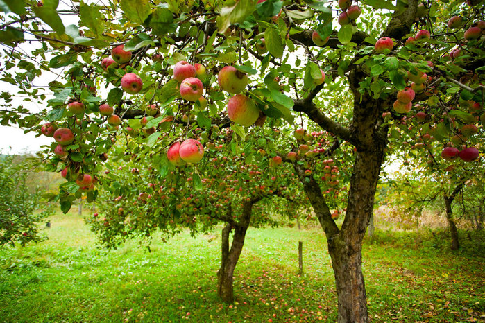 apple-orchard-web (700x466, 211Kb)