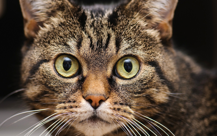american-bobtail-close-up-pets-domestic-cat-cute-animals (700x437, 402Kb)