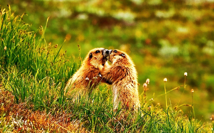 marmot_push_Olympic_National_Park-Animal_World_Wallpaper_2560x1600 (700x437, 513Kb)