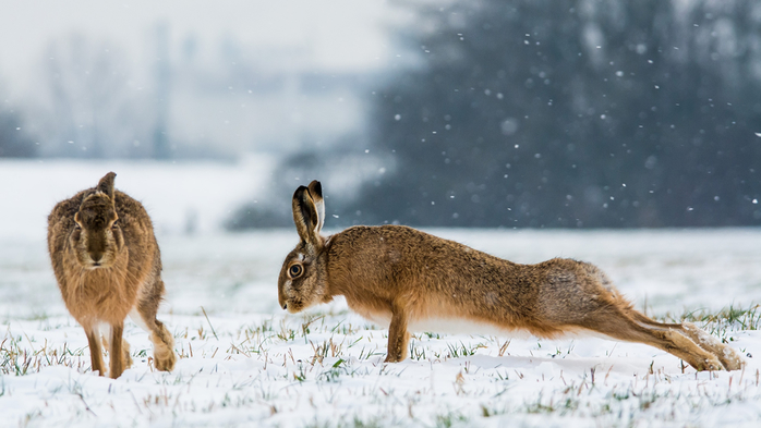 Hares_Snow_Two_Push-up_531425_2048x1152 (700x393, 256Kb)