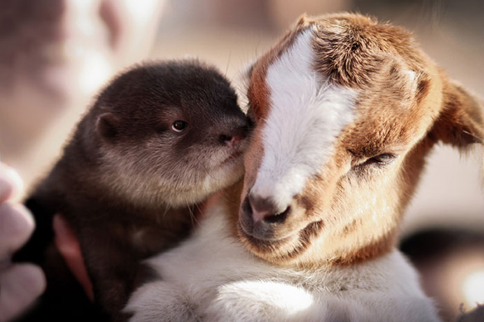 unusual-animal-friendship-otter-goat__700 (700x466, 59Kb)