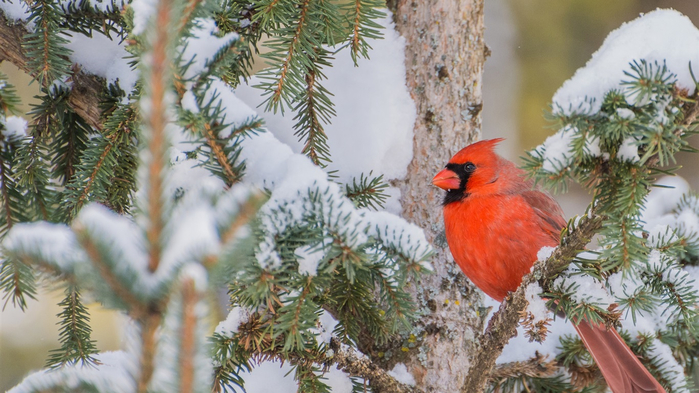 Red-cardinal-bird-branches-tree-snow-winter_1366x768 (700x393, 370Kb)