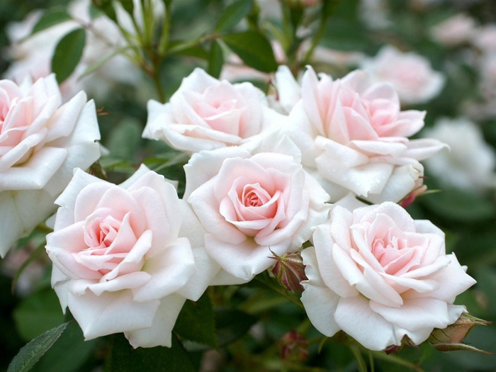 49-498535_plants-white-rose-garden-flowers-photography-hd-wallp (700x525, 333Kb)