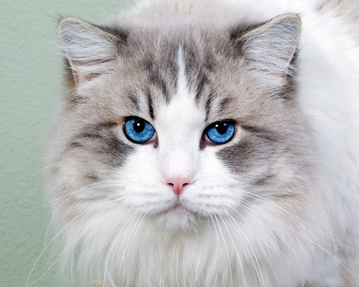 cat_fluffy_blue-eyed_face_cute_35914_1280x1024 (700x560, 306Kb)