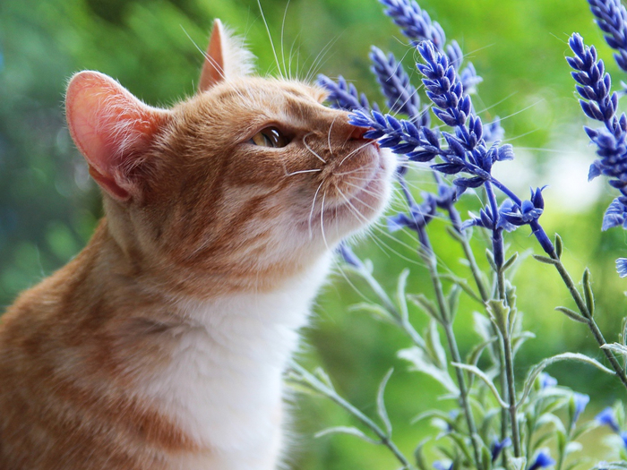 2019Animals___Cats_Beautiful_red_cat_sniffs_blue_flowers_131364_1 (700x525, 446Kb)