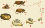 Превью The-life-cycle-of-the-May-beetle-640x407 (640x407, 197Kb)