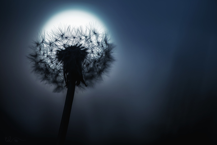 Dandelions_Closeup_Night_Moon_527615_1280x854 (700x467, 59Kb)
