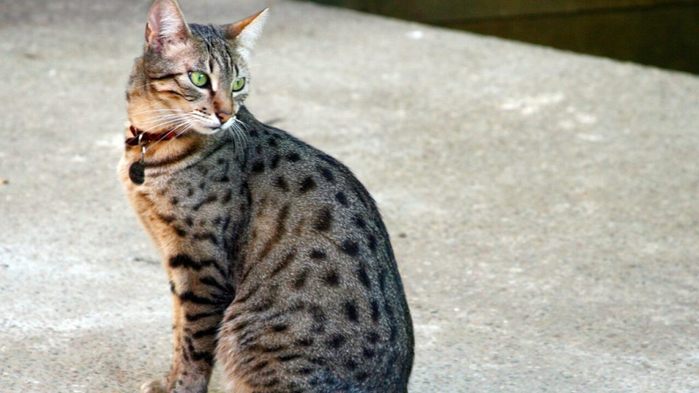 The-Egyptian-Mau-Cat-1-1024x576 (700x393, 259Kb)