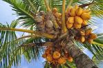 [+] Увеличить - Плоды кокосовой пальмы