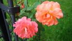 Плетистая роза, сорт Бионда