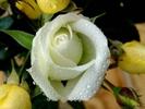 [+] Увеличить - Белая роза