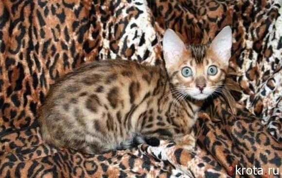 13. Бенгальский кот Стоимость: 800—3000 $