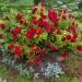 Плетистая роза на клумбе