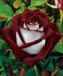 Розы Кордеса известны во всем мире своими великолепными бутонами, что ценится в букетной индустрии.