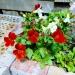 пилус цветы