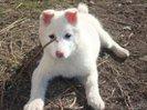 Ищем надежные руки для семерых 1,5 месячных щенков белой лайки.