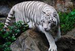 [+] Увеличить - Тигр альбинос