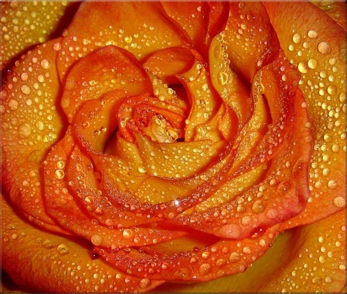 цвет розы для знакомства