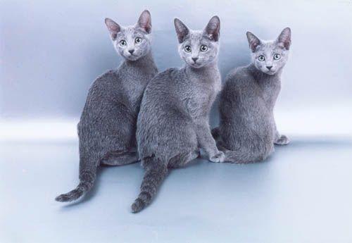 Гладить русских голубых кошек очень приятно.  Прикоснуться рукой...