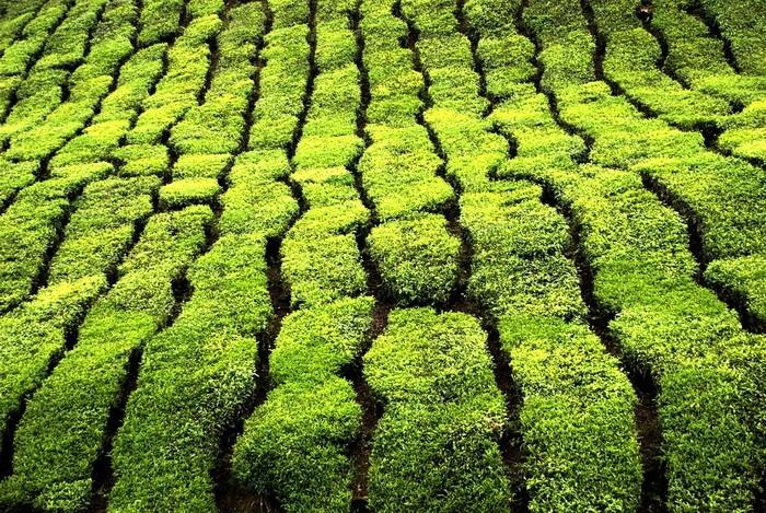 Чайные плантации в Малазии