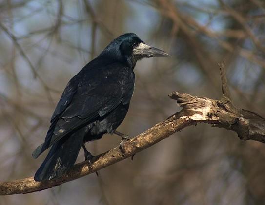 Грач Дикие птицы.  Виды диких птиц, фото и описание.