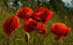 Маки - красные, белые, желтые.  Нежная трепетная красота этих хрупких цветов покоряет.  Если любите - наслаждайтесь.