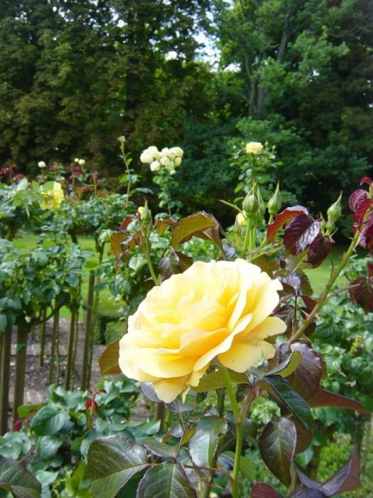 Rose Garden - Le jardin des roses