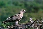 В июне-июле. взрослых птиц и выпрашивающих корм летных молодых...